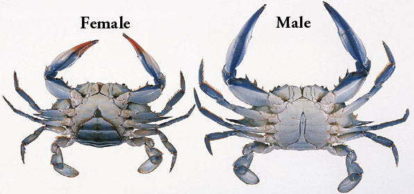 female and male blue crabs